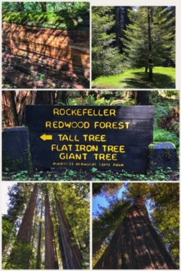 Rockefeller Redwood Forest