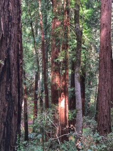 Coast Redwood trees