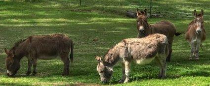 Oregon burros