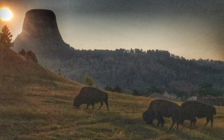 Bison at Devils Tower National Monument