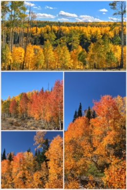 Falls Aspen Tree colors; Dixie National Forest