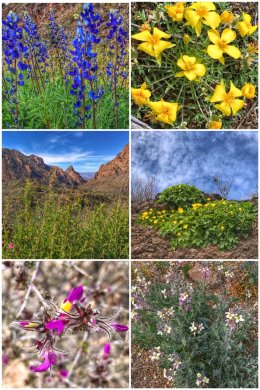 Wildflowers of Big Bend Texas