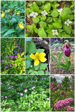 Minnesota flowers, lilacs