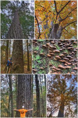 Congaree National Park,, big trees