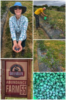 Abundance Farm, blueberry picking