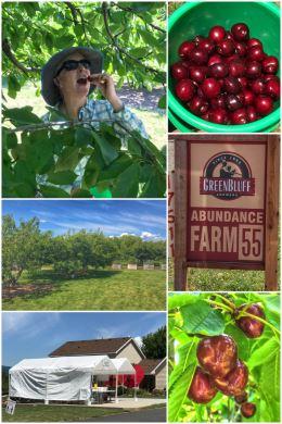 Abundance Farm cherry-picking
