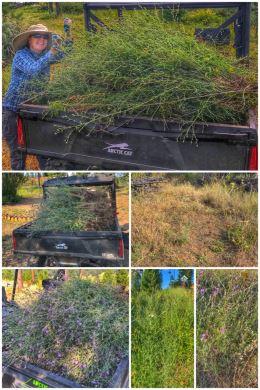 H3 knapweed